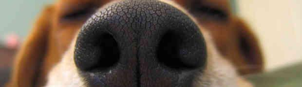 Como desentupir ou limpar nariz de cachorro?